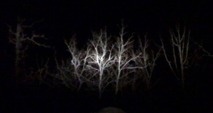 Oaks lit by headlight