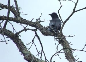 Crow perches while snow falls