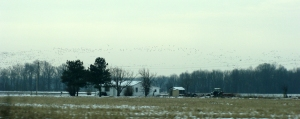 Large flock of ducks takes flight