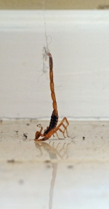Scorpion hanging by its stinger from a spider web.