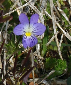 Wild violet springs up in the dormant grass.