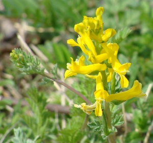 Yellow wildflowers bloom in the Ouachitas.