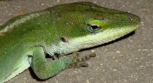 Closeup of green anole.