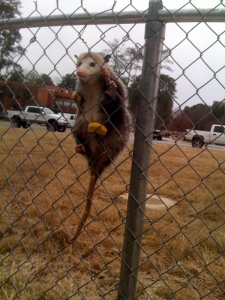 Possum hanging on chainlink fence at UALR.