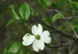 Easter weekend Dogwood