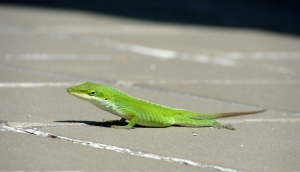 Sunbathing lizard