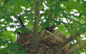Mother robin well hidden in a small oak tree