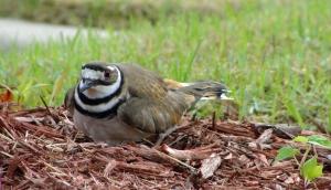 Killdeer in nest