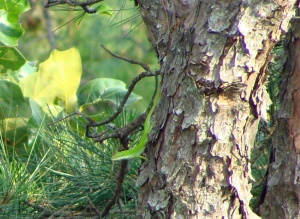 Green anole in pine tree