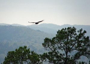 Vulture soars above a Ouachita valley in Ferndale
