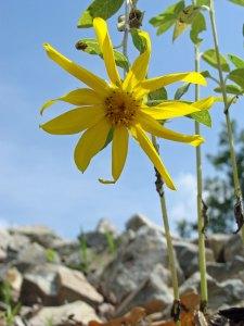 Homegrown sunflower.