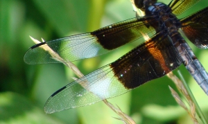 Delicate lacework in dragonfly wing