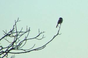Eastern towhee in a tree