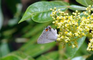 Gray butterfly on yellow sumac flowers