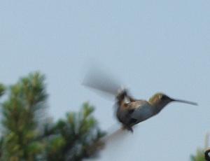 Hummingbird doing aerial backstroke