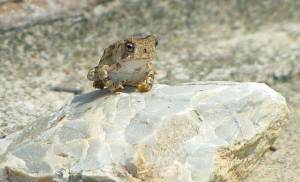 Tiny frog on a rock