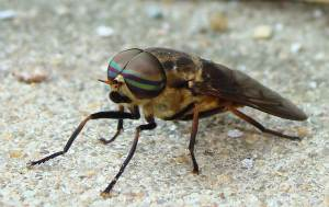 Close up of horse fly