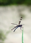 Dragon fly moored on onion stalk.