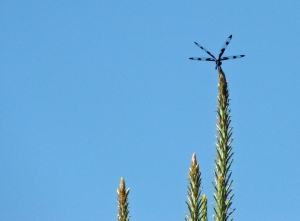 dragonfly settles at the top of a tree
