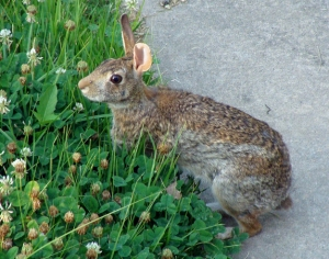 Rabbit makes dinner of white clover.