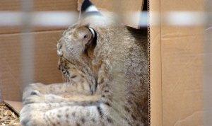 Little Rock Zoo Bobcat sleeps in a cardboard box.