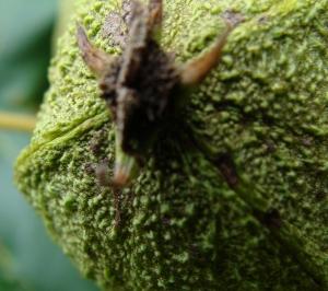 Wild hickory nut