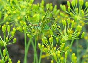 Grasshopper on dill flowerw