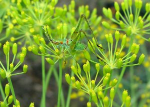 Grasshopper on dill flowerw