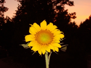 sunflower with sunset background