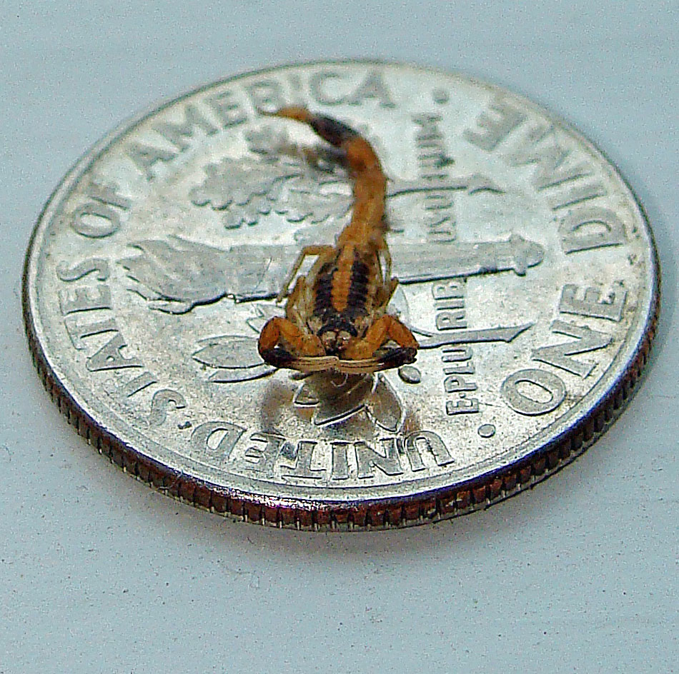 Smallest scorpion in the world