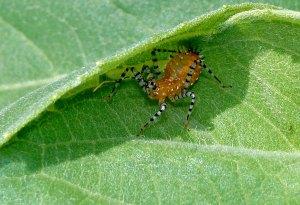 Orange bug with zebra striped legs