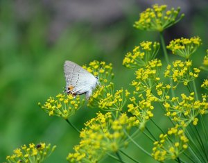 Gray butterfly on yellow dill blossoms.