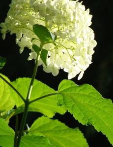 White hydrangea, backlit