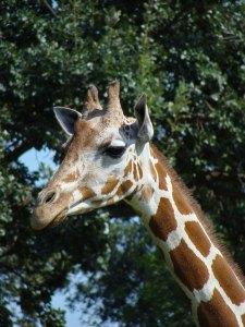 Como giraffe