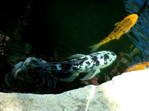 Koi in the sunken garden.
