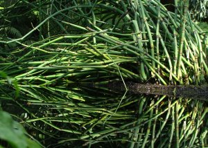 Horsetail rushes