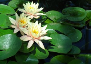 Three white lotus flowers