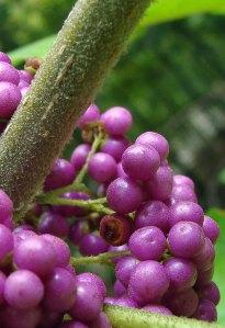American beauty berries