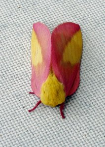 Pink bordered yellow moth