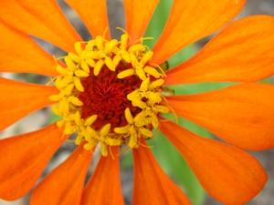 Orange cosmos