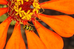 Green beetle on orange flower.