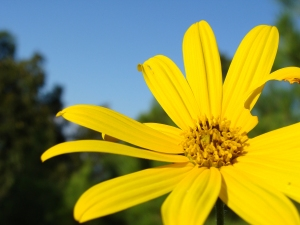 Sunchoke flower