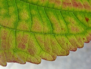 Mulberry leaf shows fall colors
