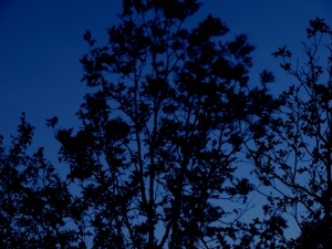 Black trees against evening blue sky