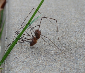 Daddy longlegs battle