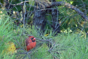 Cardinal in the pines