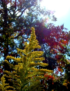 Goldenrod with red sumac.