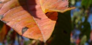 Sumac leaf