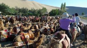 tourist camels await riders