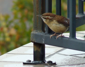 Little wren on the deck rail